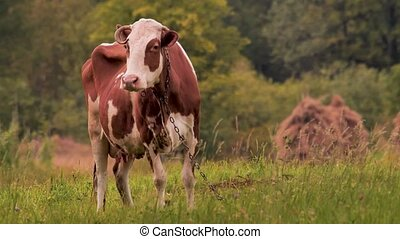 Cow on the meadow grazing the grass. Oranic milk concept. Farming background. Green tourism. Eco lifestyle. Healthy lifestyle concept. Small business, cattle feeding. Ecology concept