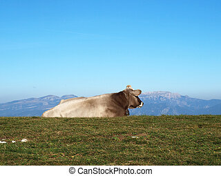 Cow on the mountains