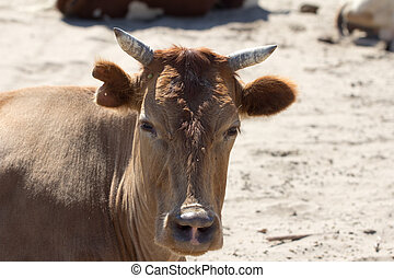 Cow on the nature