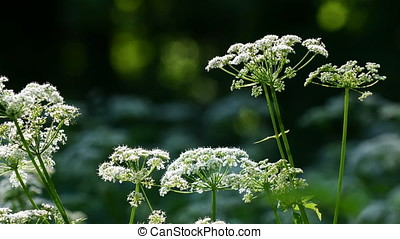Cow Parsley, Anthriscus sylvestris during evening in Sweden