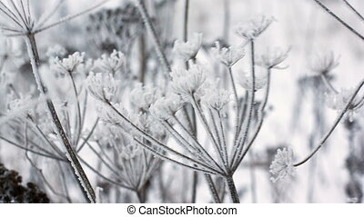 Cow parsnip, close-up - Cow parsnip winter image, close-up