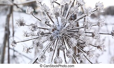 cow parsnip covered ice and snow after a icy rain. - cow...