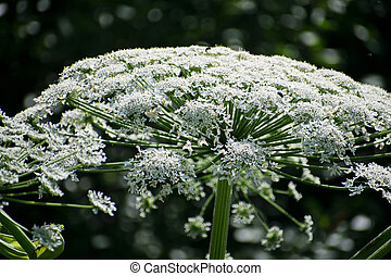 Cow parsnip or the toxic hogweed in summer sunny day. ...