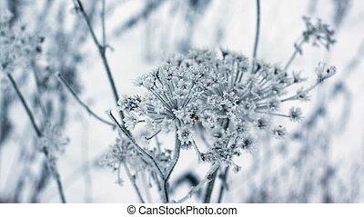 Cow parsnip, winter image, depth of field full hd 1920x1080p