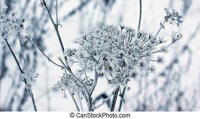 Cow parsnip, winter image full HD 1080p