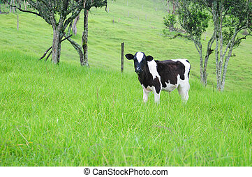 Cow in a farm