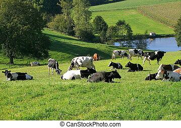 cow  - team cow