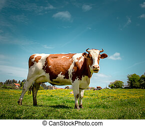 Cow - Portrait of a dairy cow