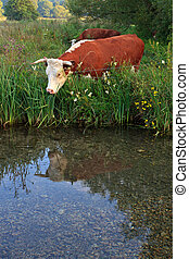 Cow reflecting on the day