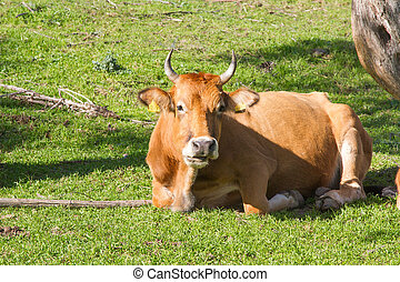 cow resting on green grass