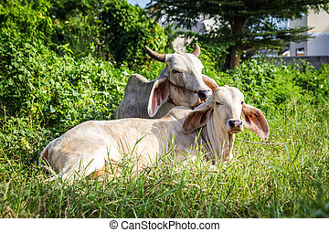 Cow resting - White mother and young cow is resting in the...