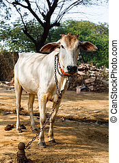 Cow sacred animal in india