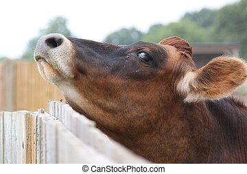Cow scratches chin on fence - A cow leans into the fence and...