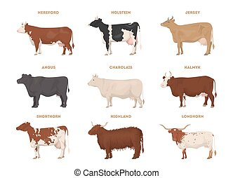 Cow set. Hereford, Holstein, Jersey, Angus, Charolais, ...