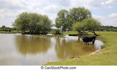 Cow standing in water at a lake - Janes Moor lake New Forest...