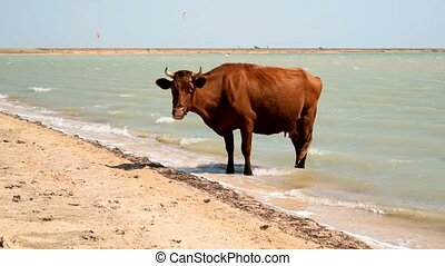 Cow standing in water on the beach