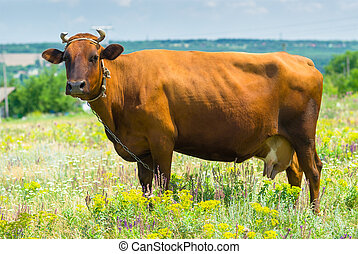 Cow standing lonely on a summer pasture