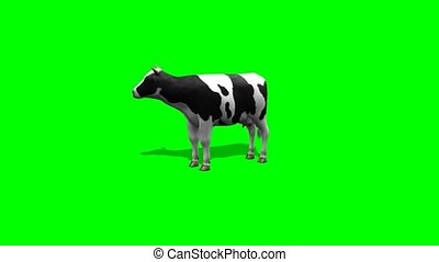 cow stands and chews - 2 different views on green screen video
