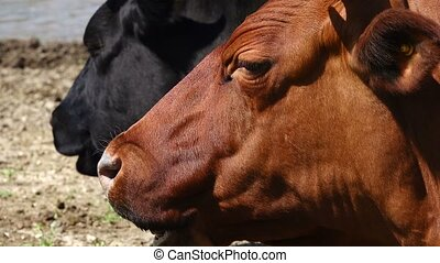 cow - chewing cow