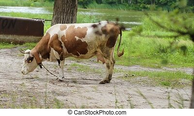 Cow tied to a tree. - Cow tied to a tree waves away a tail...