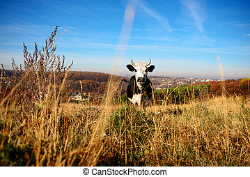 Cow turning head to camera with mountains and snow on backgrounds