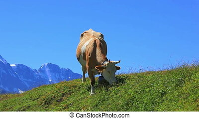 Cow. - Cow on pasture.