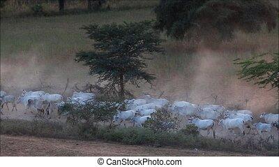 cow - Caravan of cows moving in Bagan Myanmar