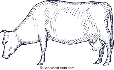 Cow vintage engraved illustration isolated on a white background. Vector