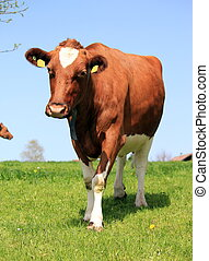 Cow walking