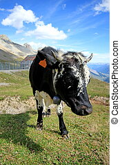 Cow walking in the mountain