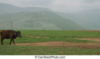 Cow Walks along a Plateau in the Mountains of Armenia....