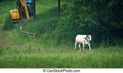 Cow Walks Past In Field With Farm Machine - Cow walking on...