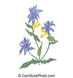 Cow wheat flowers isolated on white background. Elegant drawing of wild woodland herbaceous flowering plant used in herbalism. Colorful hand drawn botanical vector illustration in vintage style.
