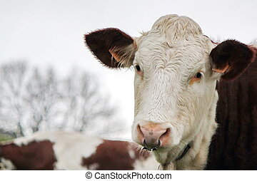 Cow with a ring in the nose