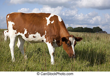 cow with blue sky
