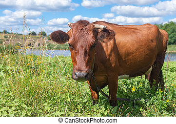 Cow with broken horn standing on a summer meadow near small river Sura in Ukraine