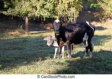 Cow with calf in corral