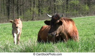 Cow with calf on a pasture