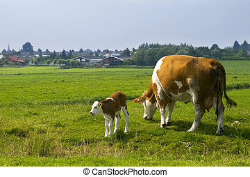 Cow with calve - Cow with little calve