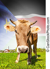 Cow with flag on background series - South Sudan