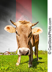 Cow with flag on background series - Afghanistan