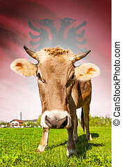 Cow with flag on background series - Albania