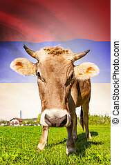 Cow with flag on background series - Armenia
