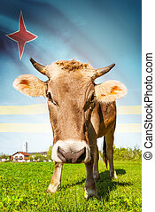 Cow with flag on background series - Aruba