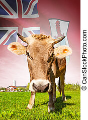Cow with flag on background series - Bermuda