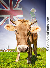 Cow with flag on background series - Cayman Islands