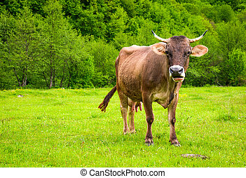 cow with flies on the face. animal in spring green...