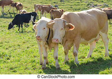 Cow with her calf grazing on Alpine pasture