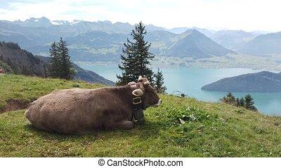 Big cow with horns in alpine meadow along Rigi-Scheidegg railway trail. Looking at Swiss Alps, Schwyz basin, Lake Lucerne. Unterstetten village in Canton of Lucerne, Central Switzerland.