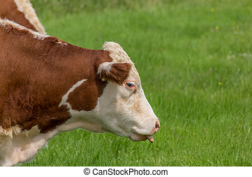 Cow with tongue sticking out